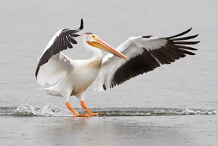 American White Pelican | by Raymond Lee Photography