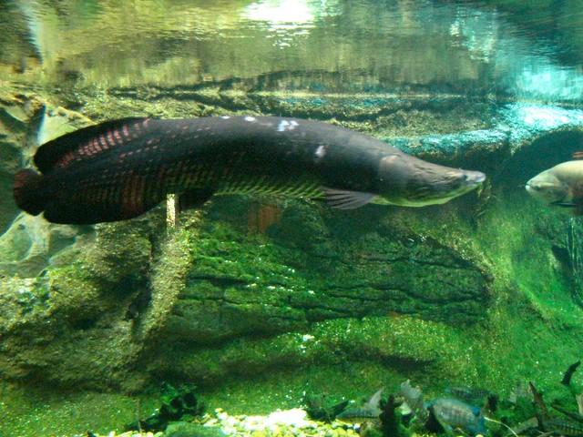 Dc zoo aquarium arapaima 4 flickr photo sharing for Aquarium washington dc