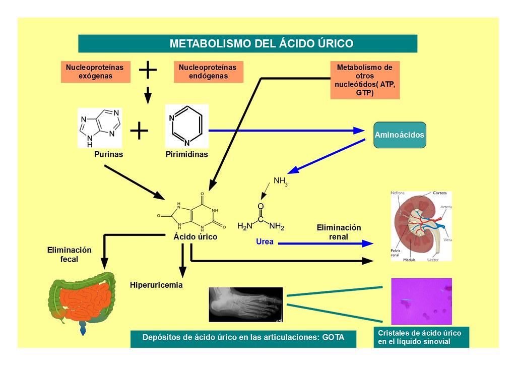 metabolismo del ácido úrico | biotecnofil | Flickr