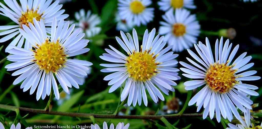 P1230901 settembrini bianchi in ottobre franz maniago - Settembrini fiori ...