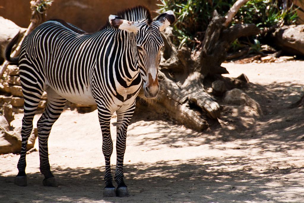Zebra Scientific Name Zebra | Scientific Nam...