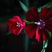 Red flower low light