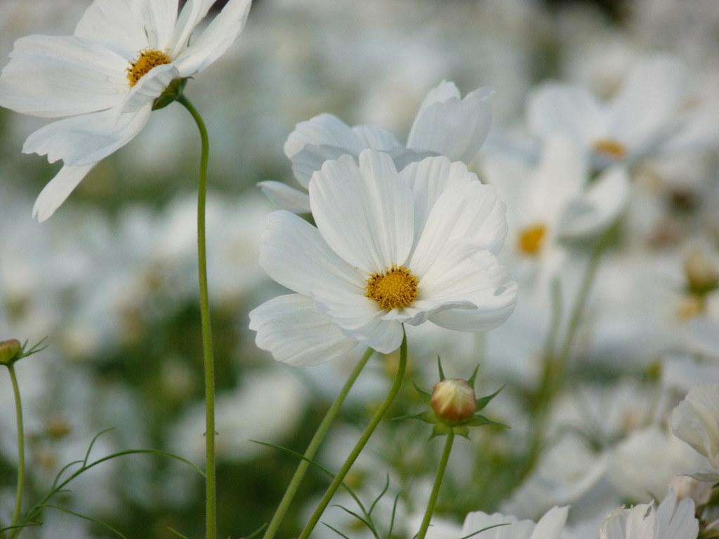 Field Of White Cosmos Flowers Virginia Ginny Sanderson Flickr