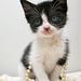 kitten in pearls