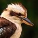 Kookaburra (2)