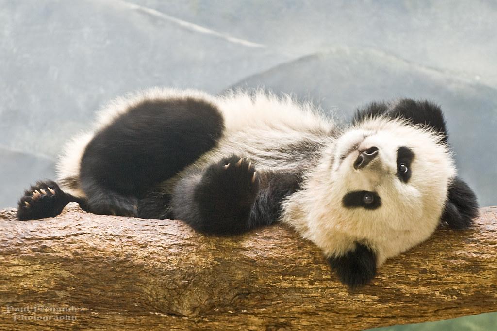 Giant Panda Cub Po Reclining At The Zoo Atlanta Best