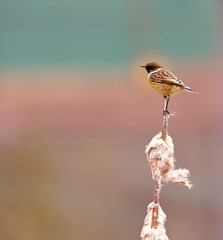 stonechat photo of the day autumnwatch  flickr 2011 by Tales From The Riverbank