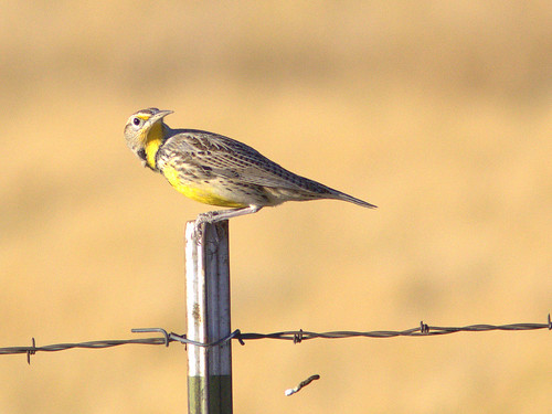 Western Meadowlark 2-20111110 | by Kenneth Cole Schneider