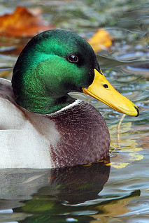 Male Mallard Duck Portrait... | by Ady G.