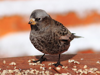 Black Rosy-Finch adult 20111114 | by Kenneth Cole Schneider