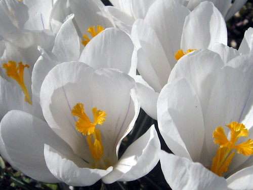 White crocuses | by Ruth and Dave
