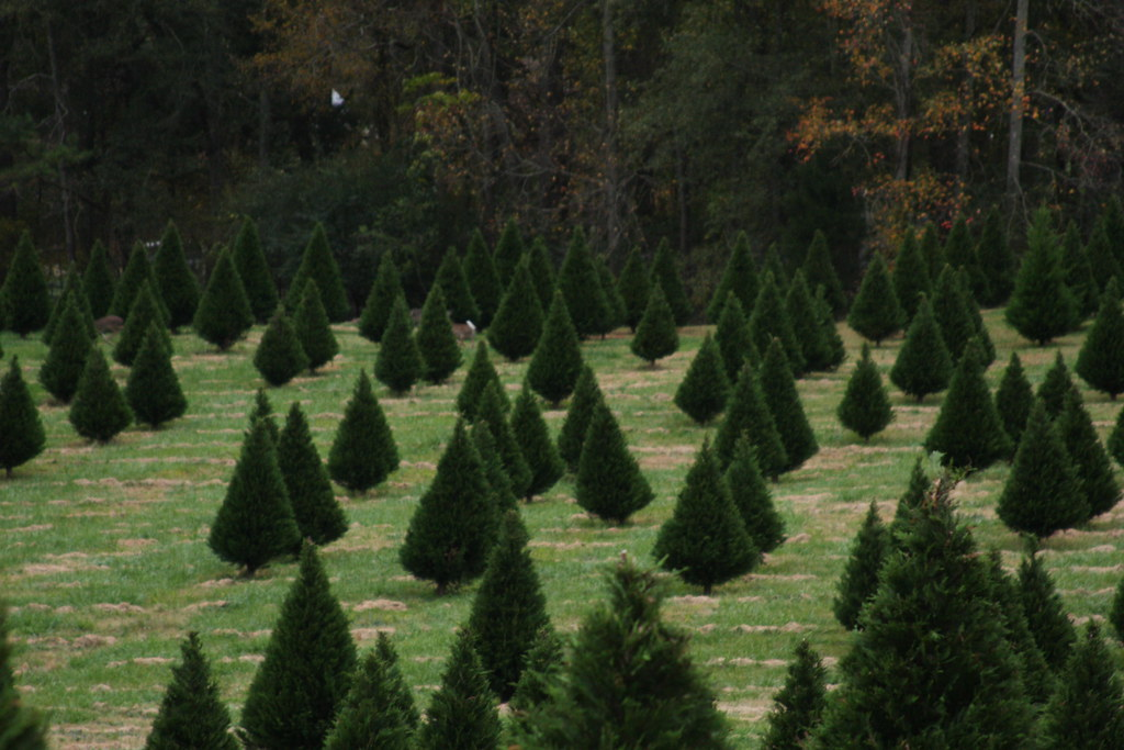 Christmas Tree Farm In Nicholson, GA. Nov. 2009