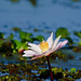 Water Lily.........
