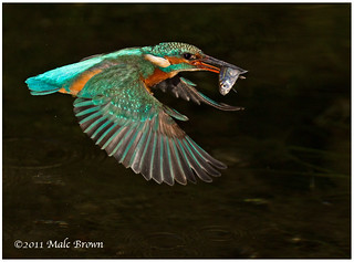 Female kingfisher | by malckingfisher