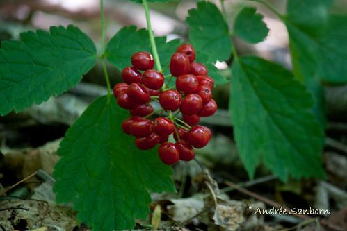 Red Cohosh (Actaea rubra)