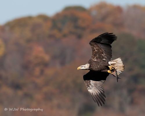 Autumn Eagle | by DelawareBill