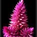 flower macro - Celosia Caracas