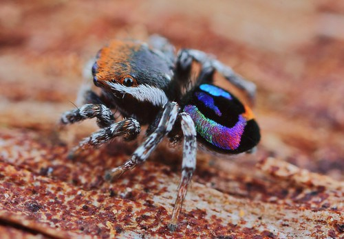 Maratus Robinsoni (rainbow jumper)           (see for colour changes) | by FISHNROBO