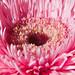 Gerbera: The Sunflower Daisy