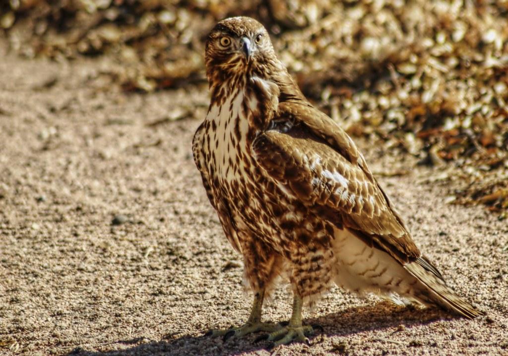 Chicken Hawk This Chicken Hawk Flew In Thanksgiving Day