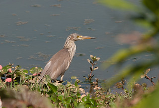 Chinese Pond Heron | by Sergey Yeliseev