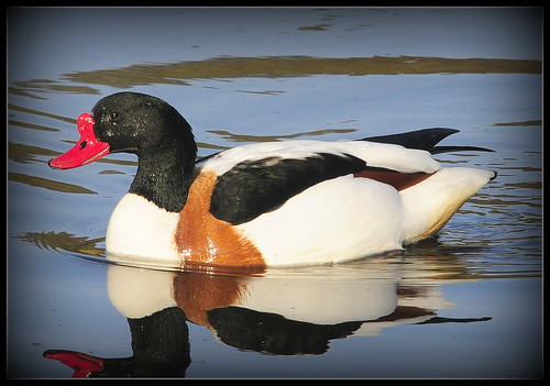 shelduck-m | by roundy8
