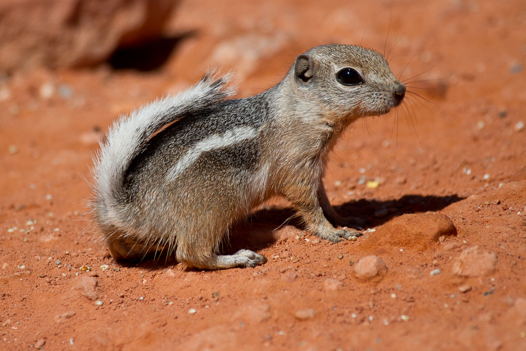 Antelope Ground Squirrel 5177 If You Check Out The