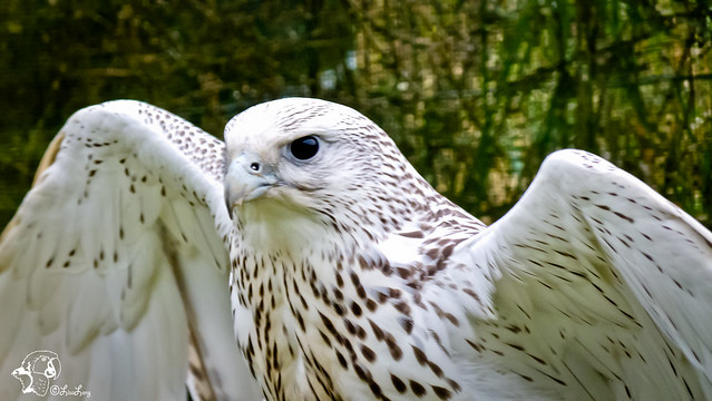 White Falcon Bird