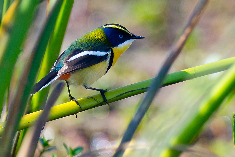 All New Rush >> Tachuris rubrigastra | Many-colored Rush-tyrant Lagoa do Pei… | Flickr