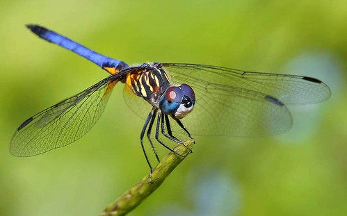 Male Blue Dasher Dragonfly, Fairchild Tropical Botanic Garden. | by pedro lastra