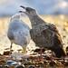 Gulls feeding on fish