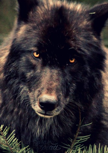 Male black wolf with yellow eyes - photo#39