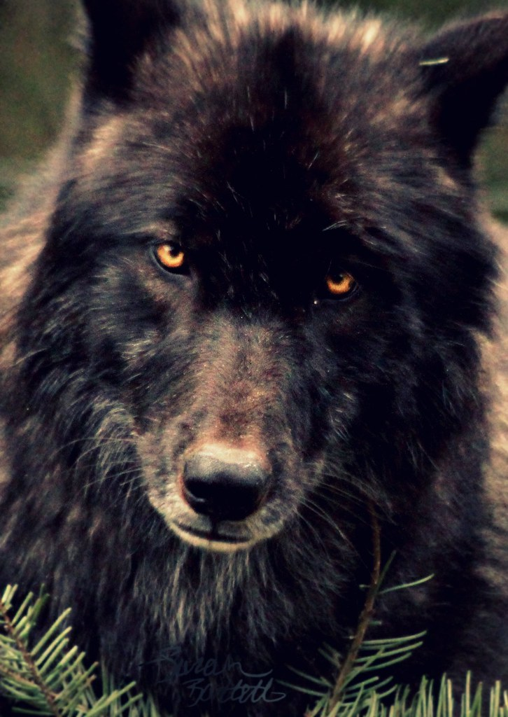 Black Wolf's Stare | Kenai of the Oregon Zoo, staring out ...