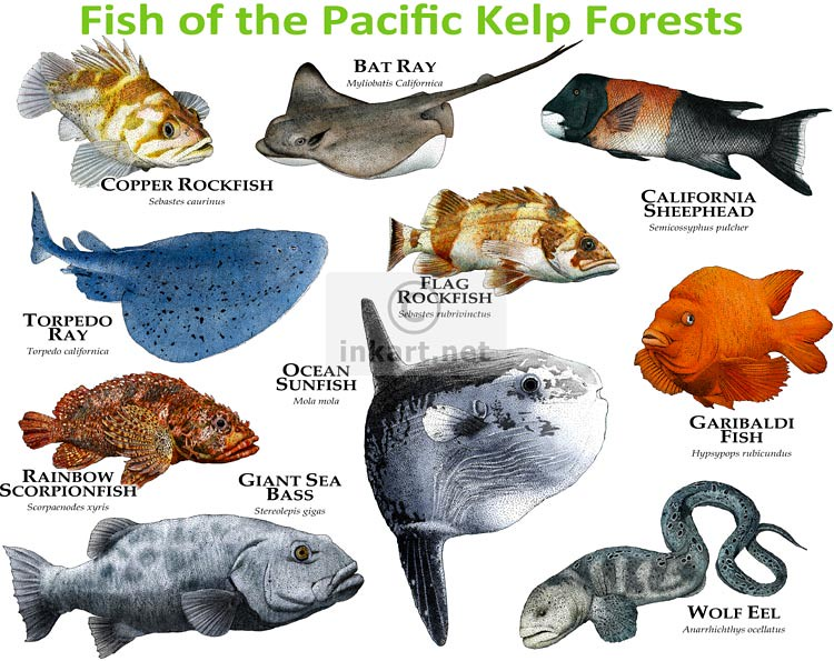 Fish of the pacific kelp forests fine art illustrations for Deep sea fishing san diego california