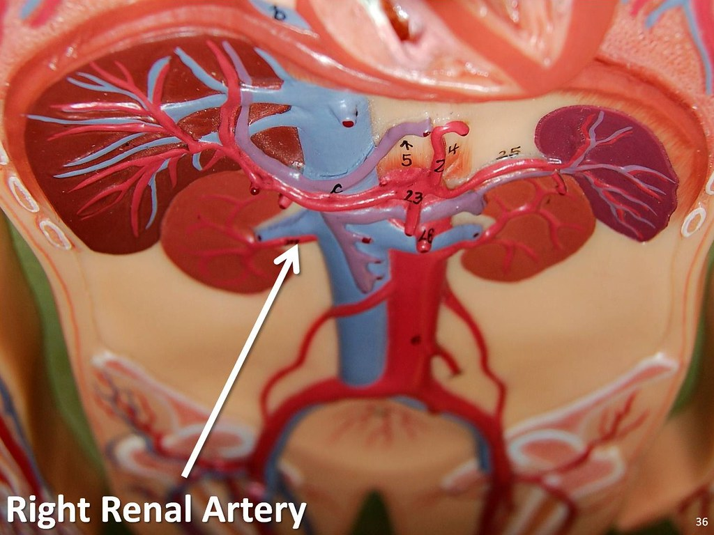 Right renal artery - The Anatomy of the Arteries Visual Gu… | Flickr