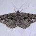 Borboleta Noturna // Lydd Beauty (Peribatodes ilicaria)