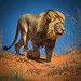 King of the Kalahari Desert