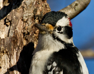 IMG_9307 Downy Woodpecker | by Wallace River