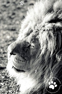 Lion King | Whipsnade Zoo, Bedfordshire, UK | by Bridget Davey (www.bridgetdavey.com)