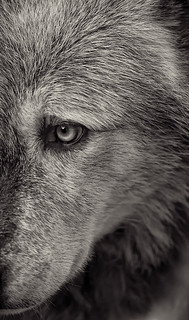 Wolf 3 | by Dan Newcomb Photography