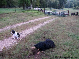 Bear on the mole patrol with bored beagle and sheep backup 4 | by Farmgirl Susan