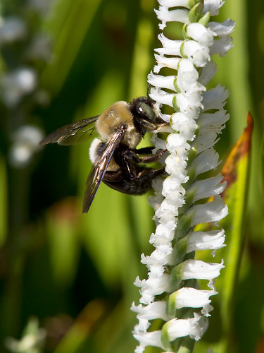Spiranthes cernua (Nodding ladies'-tresses orchid) + Bumble Bee | by jimf_29605