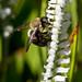 Spiranthes cernua (Nodding ladies'-tresses orchid) + Bumble Bee