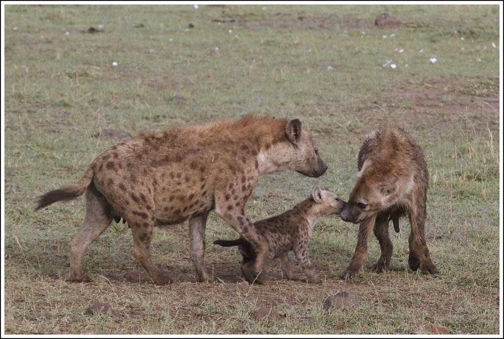 Mama Hyena 2016