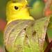 female Wilson's Warbler plays peek-a-boo