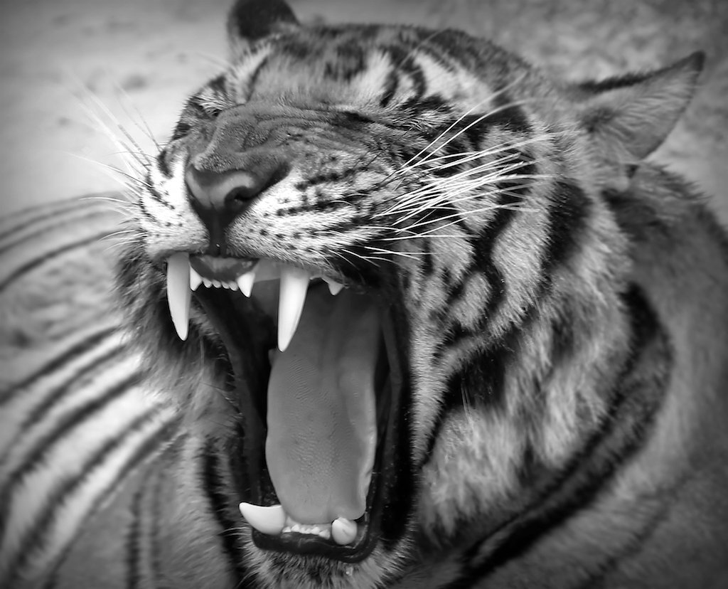 Tiger teeth | Tiger teeth | @Doug88888 | Flickr