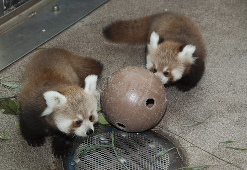 See red panda cubs at the Smithsonian's National Zoo | by Smithsonian's National Zoo