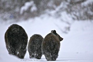 Snow Bears | by Daryl L. Hunter - Hole Picture Photo Safaris