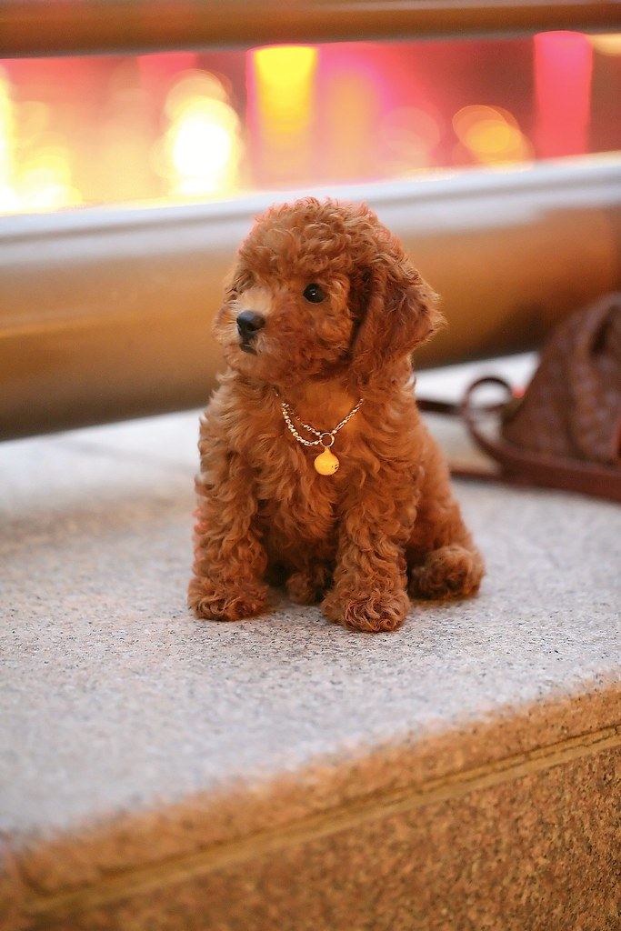 Pocket Poodle | A fully grown Toy Poodle. This special ...