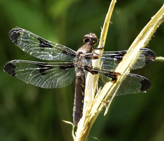 TWELVE-SPOTTED SKIMMER | by PALEIDIA-Very Busy